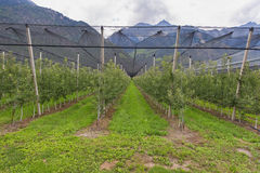 Apple Plantation. At the apple plantation. Merano, Italy Stock Photography