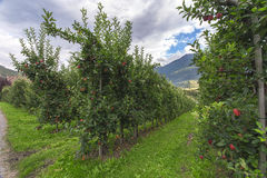 At the Apple Plantation. Merano, Italy Royalty Free Stock Images