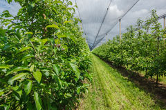 Apple plantation with the net protection Stock Photos