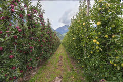 At the apple plantation. Passage between the two different sorts at the apple plantation. Merano, Italy Royalty Free Stock Image