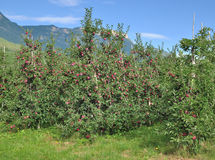 Apple Plantation,South Tirol,Merano,Italy. Apple Plantation in South Tirol near Merano and Lake Caldaro,Trentino,Alto Adige,Italy Stock Photography