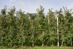 Apple plantation in South Tyrol - Italy Stock Photo