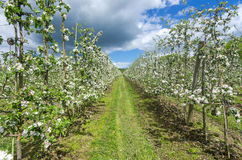 Apple plantation. Swedish apple plantation in blooming season Royalty Free Stock Photo
