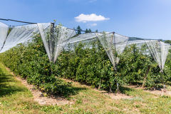 Apple plantation in Switzerland on summer. Apple plantation in Switzerland in July 2015 Royalty Free Stock Photo