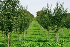 Apple plantation. View to the apple plantation with young apple tree Royalty Free Stock Photo