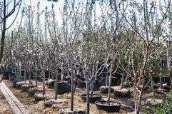 Apple plantor i stora p?sar p? en tr?dg?rds- f?rs?ljning Frukttr?d f?r att plantera i jordningen royaltyfria bilder