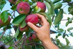 Apple plockning Fotografering för Bildbyråer