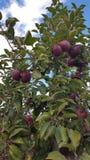 Apple plockning Royaltyfri Fotografi