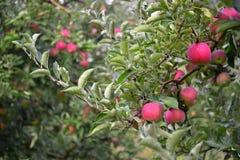 Apple portent des fruits Photographie stock