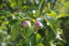 Apple portent des fruits après élevage de la fleur Photos libres de droits