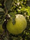 Apple portent des fruits avec des gouttelettes Image stock