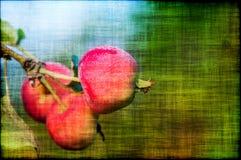 Apple portent des fruits grunge de branche Image libre de droits