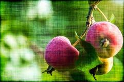 Apple portent des fruits grunge de branche Images libres de droits