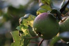Apple portent des fruits sur la branche d'arbre photographie stock libre de droits