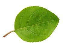 Apple poussent des feuilles d'isolement Photographie stock