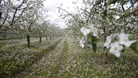 Apple producer supervise  orchard during the flowering stock video footage