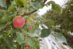 Apple production Royalty Free Stock Images