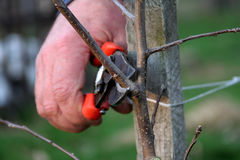 Apple pruning time royalty free stock photography