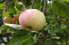 Apple que crece en árbol Fotografía de archivo libre de regalías