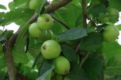 Apple que crece en árbol Imagen de archivo libre de regalías
