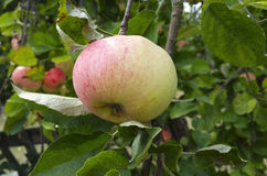 Apple que cresce na árvore Fotografia de Stock Royalty Free