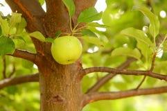 Apple que cuelga de un árbol Imagen de archivo libre de regalías