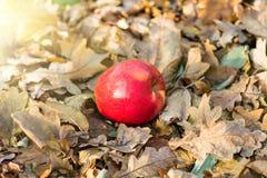 Apple que encontra-se na terra Imagens de Stock