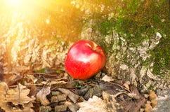 Apple que encontra-se na terra Foto de Stock Royalty Free