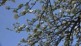 Apple que florece o árbol frutal metrajes