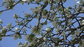 Apple que florece o ?rbol frutal almacen de video