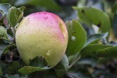 Apple que madura en rama de árbol Fotos de archivo libres de regalías