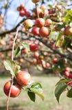 Apple que pendura da árvore Imagens de Stock