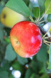 Apple and quince. On a branches Royalty Free Stock Photos
