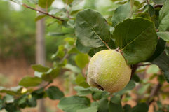 Apple quince Royalty Free Stock Photo