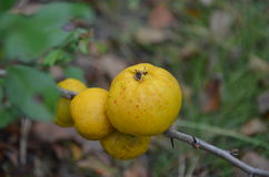 Apple quince. Fruit. Nature. Autumn time Royalty Free Stock Images