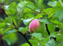 Apple after rain. Apple tree with unripe apples in rain Royalty Free Stock Photo
