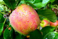 Apple in the rain. Beautiful Ripe apple, just before the beginning of harvest Stock Photo