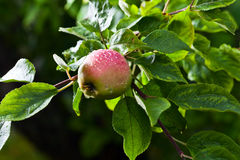 Apple after rain Royalty Free Stock Images