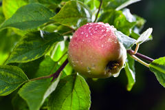 Apple after rain Stock Photography