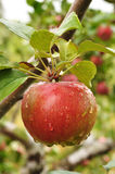 Apple with Raindrops Stock Image
