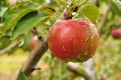 Apple with Raindrops Royalty Free Stock Image