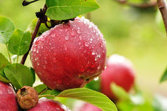 Apple with Raindrops. A Ripe Red Apple Covered with Raindrops Stock Photo