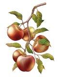 Apple ramifica isolado da ilustração da gravura do vintage do desenho da mão ilustração royalty free