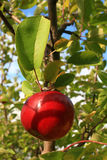 Apple Ready to Picked!. This all red apple beckons to be picked Stock Photos
