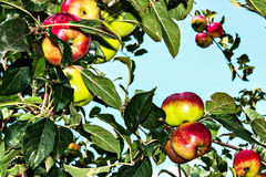 Apple. Red apples hanging on the branches of Apple trees Stock Photography