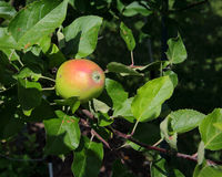 Apple with red blush on branch with leaves Stock Photos