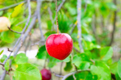 Apple red hanging from tree branch Stock Photo