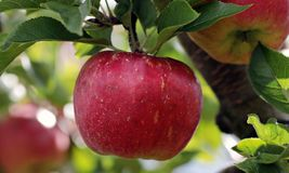 Apple, Red, Red Apple Royalty Free Stock Photography