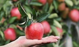 Apple, Red, Red Apple, Hand Stock Photography