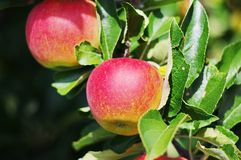Apple red tree Stock Photography